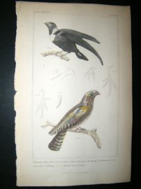 Cuvier C1835 Antique Hand Col Bird Print. Collared Swallow, martin, Goat Sucker 45